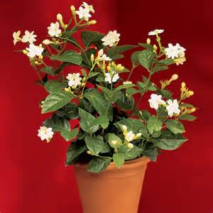 Fragrant Plants For Indoors - jasmine maid of orleans jasminum sambac