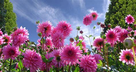 fiori dalie cura delle dalie bakker