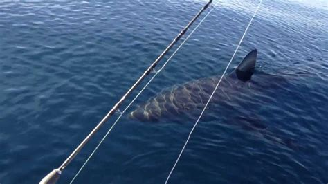 bulls bay boats craigslist magnificent 18 foot great white shark caught in the wild