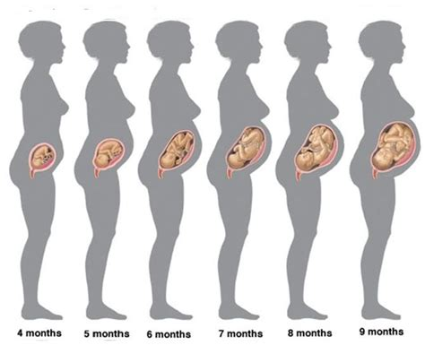 pregnancy stages pregnancy belly stages images