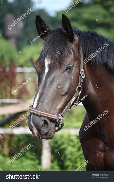black horse portrait  white stripe stock photo
