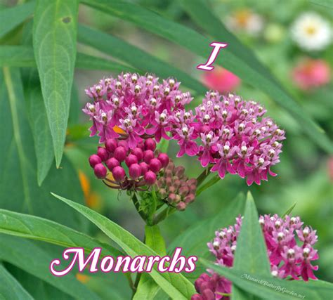 Monarch Garden by I Monarchs From The Bottom Of Milkweed