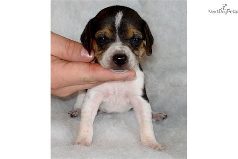 beagle puppies for sale in virginia beagle puppy for sale near southwest va virginia 0b5a999e 3481