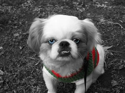 pekingese poodle lifespan buddy buddy is a pekingese lhasa apso mix lhasa apso