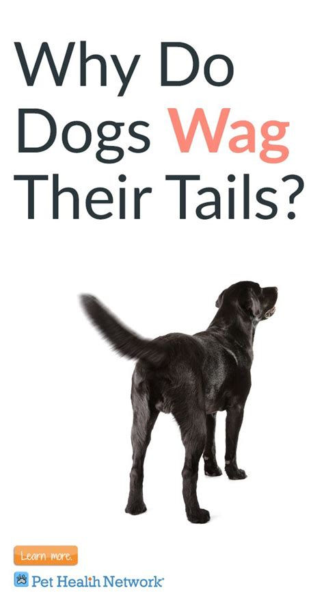 why do dogs way their tails pethealthnetwork pet health network pinterest dog