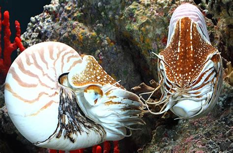 National Aquarium | Chambered Nautilus