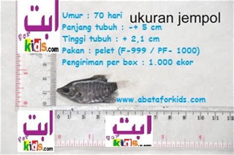 Bibit Gurame Angsa benih gurami dan telur ikan gurame benih ikan
