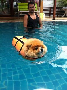 pomeranian air swimming 1000 images about maybe one day on pomeranians baby pomeranian and