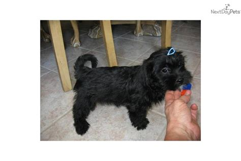 havanese shih tzu mix for sale adopt harley a havanese puppy for havanese shih tzu mix