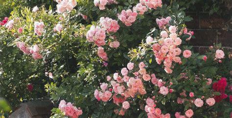 Come Coltivare Le Roselline In Vaso by Come Coltivare Le Ricanti Great Della Rosa