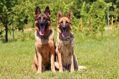 australian german shepherd puppy german shepherd australian lover