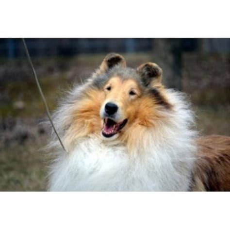 collie puppies for sale in michigan collie breeders in michigan freedoglistings