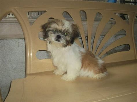 yorkie vs shih tzu 17 best images about shih tzu dogs and doberman dogs on sweet shih