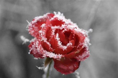 rosa d inverno fiore fiori sposa fiorista fiori da sposa