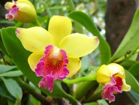 fiori di orchidee le orchidee orchidea