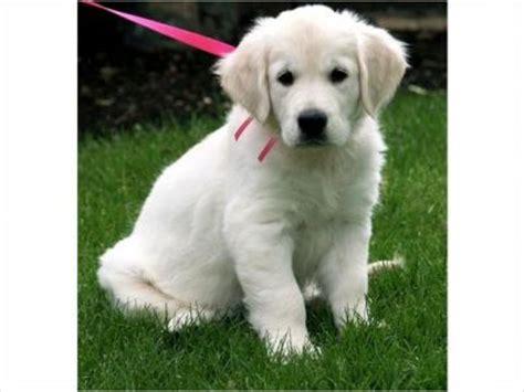 golden retriever puppies for sale geelong golden retiever puppy for free adoption