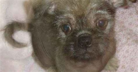 pug crested mix pug and crested pugese pug mixed breeds pug mixed breeds and
