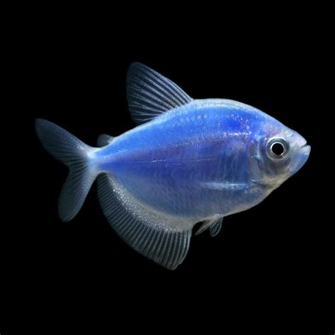 glo fish tetra gymnocorymbus ternetzi for sale at