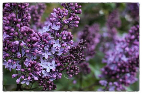 Most Fragrant Lavender Plants - lilac bush areyoubusy