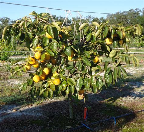 persimmon trees allison family farm