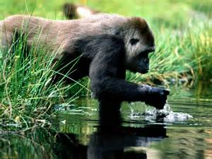 Gorilla gorillas have a patchy distribution the western gorilla lives in