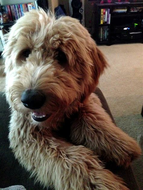 goldendoodle puppy barking 1155 best images about puppies on