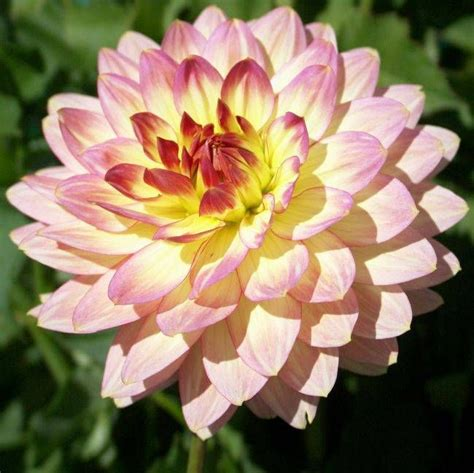 china doll dahlia 53 best images about dahlias on trips