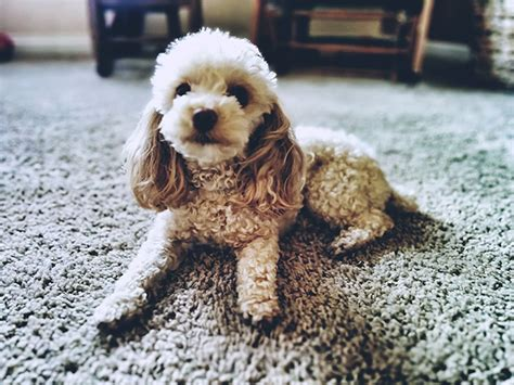 Poodle Dog Breed Information, Pictures, Characteristics