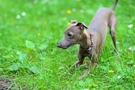 Do Italian Greyhounds Shed A Lot by Get To The Italian Greyhound The Graceful Grecian