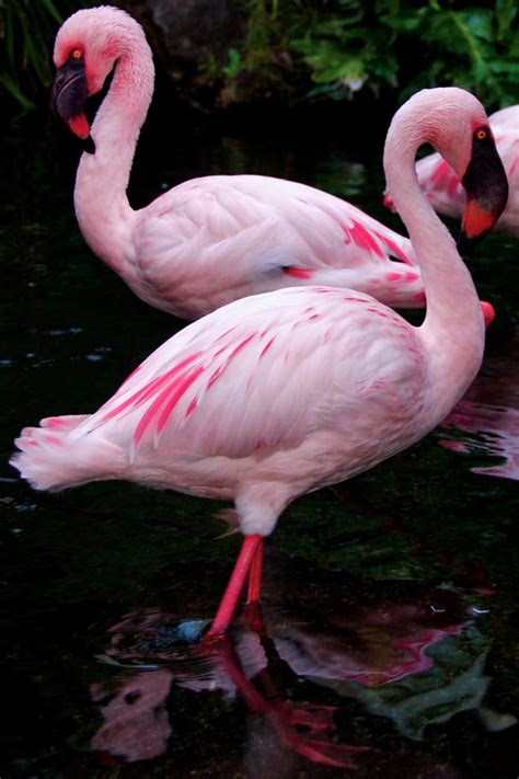 pink flamingos pink flamingo bing images