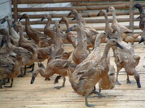 Tempat Makan Ternak Disebut peluang usaha ternak bebek dan analisa usaha contoh artikel