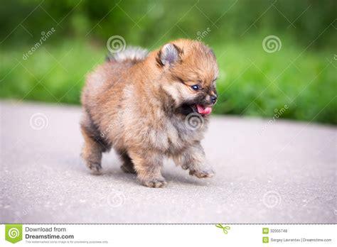 pomeranian walking small pomeranian puppy walking royalty free stock photos image 32055748