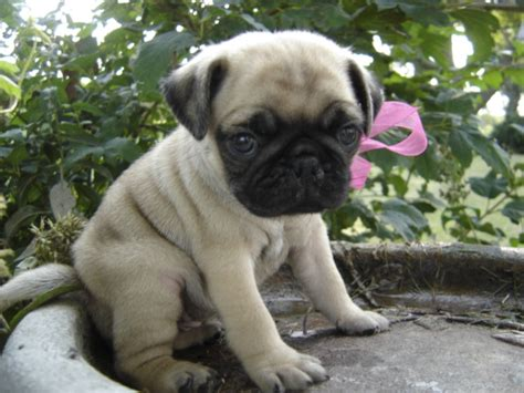 pug for sale free pugs puppies for sale breeds picture