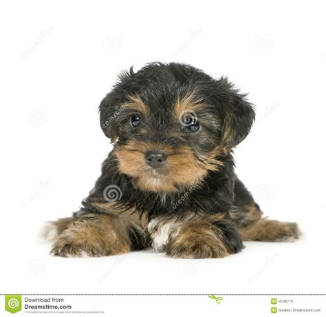 1 month yorkie terrier puppies 1 month stock photo image 4736710