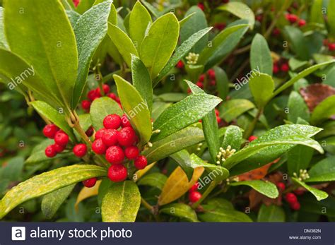 a winter wonderland evergreen shrub with glossy leaves and red stock photo royalty free image