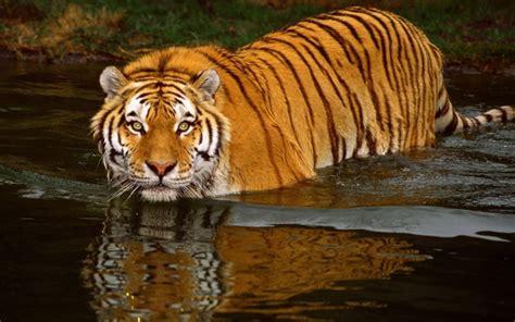 imagenes de tigres y jirafas tigre en el agua im 225 genes y fotos