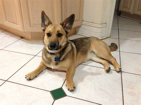 german shepherd mix 19 gorgeous corgi mixes that are almost to be real