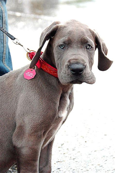 great dane puppies wisconsin file great dane puppy blue jpg wikimedia commons