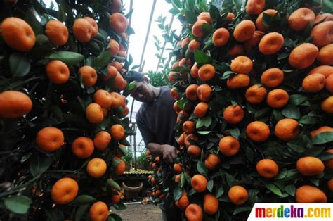 Wni Problematik Orang Indonesia Asal Cina foto jelang imlek permintaan jeruk impor meningkat