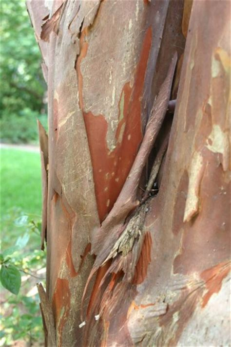 crepemyrtle river birch maple bark peeling 171 walter reeves the gardener