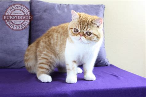 Twinie Cats shorthair kittens and cats purfurvid cattery
