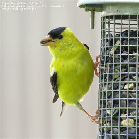 bird pictures american goldfinch spinus tristis by