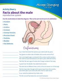 male reproductive system worksheet davezan