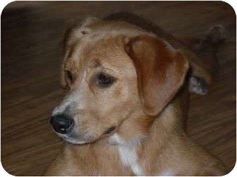 beagle mixed with golden retriever beago golden retriever beagle mix info puppies pictures