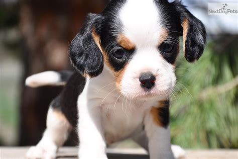 beaglier puppies for sale beaglier puppies beaglier breeders beagliers for sale beagliers breeds picture