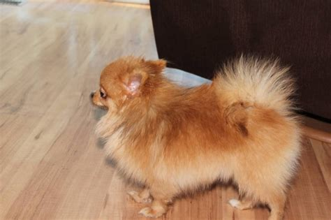 when is a pomeranian grown teacup pomeranian grown pictures