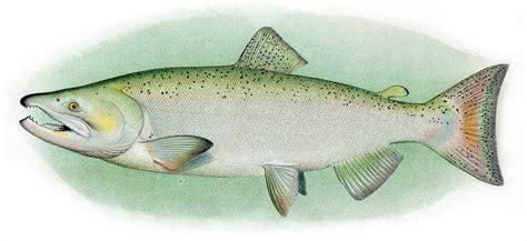 Lachs Bilder by Chinook Salmon