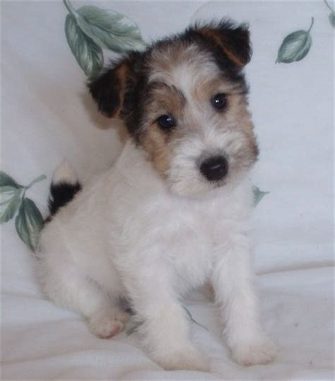 fox terrier puppy mrs puppies pictures and information