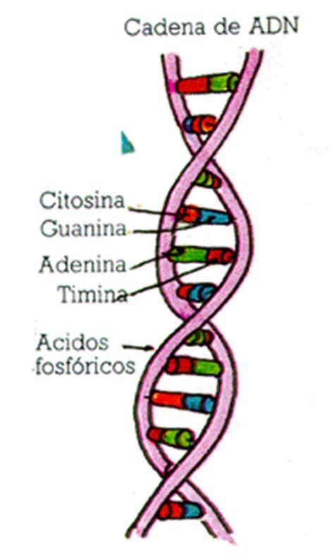 son cadenas de adn ciencia del mundo contempor 225 neo gt patricia tema 4 3