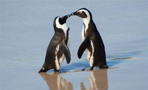 African Penguin - Facts, Habitat, Pictures, Behavior ...